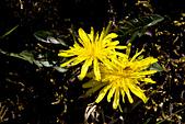2013-03-22_阿里山森林遊樂區:「阿里山森林遊樂區」的小花