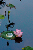 2014年八、九月華山荷塘:〔2014-09-14〕寧靜的倒影