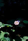 2014年07月的華山荷塘:IMG_7446.jpg