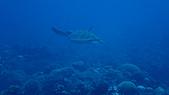 2017年11月,平常日的小琉球海底三日遊 (NO. 145~151):海龜游起來還是挺萌的