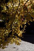 2014-11-25_福壽山賞楓:被我拍壞的漂亮『黃楓』