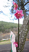2011-02-20_武陵農場賞櫻行:多重瓣梅花 -- 『紅牡丹』