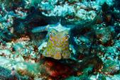 2015-05-16~17_小琉球之海龜看到膩:福氏角箱魨