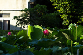 2014-07-12_竹北新瓦屋荷花池:其實這裡就在路邊阿...