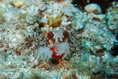 2015-05-16~17_小琉球之海龜看到膩:拳擊蟹!