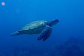 2015-05-16~17_小琉球之海龜看到膩:小琉球真的是海龜看到膩阿~XD