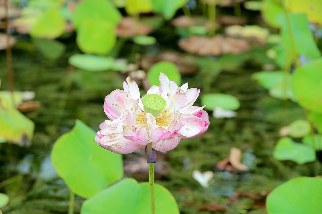 2012-08-09_鹿野、池上大坡池、伯朗大道、稻米原鄉館、羅山、六十石山:大水車旁的荷花池