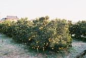 [Film 41] 2017年12月,佐賀縣(祐德稻荷神社/肥前浜宿/太良町):滿滿的橘子,看起來就很好吃 XD
