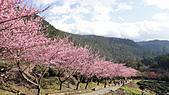 2011-02-20_武陵農場賞櫻行:茶園步道的櫻花林