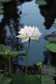 2014年07月的華山荷塘:IMG_7256.jpg