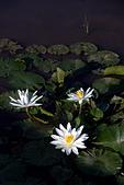 2013-08-04_淺水灣日出、福德水車公園、貝殼廟、三芝小豬:睡蓮 @福德水車公園生態園區