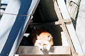 [Film 49] 藏王狐狸村、角館、大內宿 (2019冬):在暖陽下的狐狸窩裡,睡得十分舒適