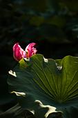 2014-07-12_竹北新瓦屋荷花池:直拍....也是亮點 ^^
