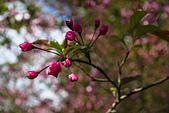 2013-03-22_阿里山森林遊樂區:小櫻花苞
