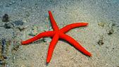 2017年11月,平常日的小琉球海底三日遊 (NO. 145~151):感覺起來懶洋洋的海星~