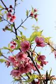 2014-01-30_平菁街櫻花 (除夕):我其實比較喜歡這樣粉嫩嫩的櫻花與藍天(甚於豔麗的藍天與桃紅)