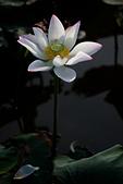 2014-07-19_觀音蓮花季:很沒創意的構圖,喜歡的還是白荷純淨的美