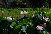 2014-07-19_觀音蓮花季:但是花況很好就是......