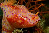 2017+2018年的東北角潛水記錄:帝王蝦與牠的宿主