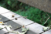 2012-08-11_伯朗大道、泰源幽谷、東河橋、都蘭(國小、糖廠)、杉原、伽路蘭、森林公園:蜥蝪!!!