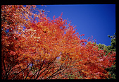 [Film 4] 2014/11/25 福壽山:比前幾張好一點,但我不愛紅楓+藍天的畫面~