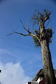 2013-03-22_阿里山森林遊樂區:樹