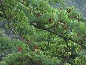 20090502 [台中]「大雪山森林遊樂區」之單人探險記:賞鳥平台的山桐子