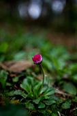 2014-03-10_阿里山拼命行:仆在地上拍很久的小花之一