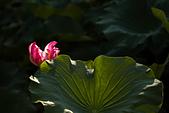 2014-07-12_竹北新瓦屋荷花池:這朵花型很有趣,葉子很漂亮!