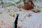 2017年11月,平常日的小琉球海底三日遊 (NO. 145~151):探頭探腦的樣子,超可愛的