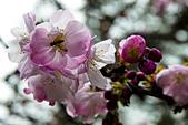 2013-03-22_阿里山森林遊樂區:蜜蜂採花蜜