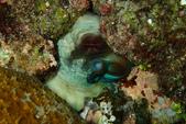 2015-05-16~17_小琉球之海龜看到膩:章魚哥