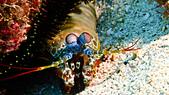 2017年11月,平常日的小琉球海底三日遊 (NO. 145~151):螳螂蝦
