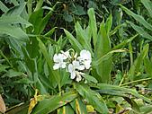2010-09-30_瑞里印像區:野薑花