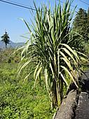 2010-09-30_瑞里印像區:這棵不知道是不是甘蔗