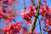 2013年02月_蛇年新春到處行:蜜蜂與櫻花 @猴探井