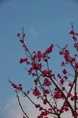2014-01-18_清大梅園 & 平菁街42巷:山櫻花