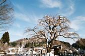 [Film 49] 藏王狐狸村、角館、大內宿 (2019冬):這棵好像是枝垂櫻,滿開的時候應該也是很漂亮吧?
