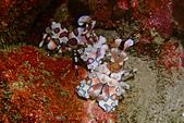 2017年11月,平常日的小琉球海底三日遊 (NO. 145~151):小釉!!! 這是我第二次看到,第一次拍到!!!