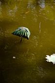 2014年八、九月華山荷塘:〔2014-09-14〕蘑菇頭