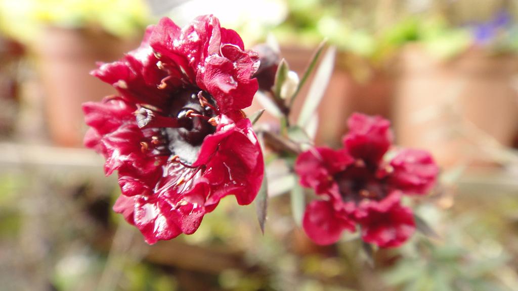 2011-02-20_武陵農場賞櫻行:松紅梅 -- 葉形如松針,花色紅、形如梅,故名