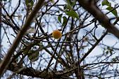 2013-12-31_信義鄉賞梅趣:2013-12-31_偌大的柳家梅園裡,唯一成熟的梅子