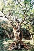 [Film 42] 武雄市、有田町、太宰府、關門海峽_2017年12月:三千年樹齡的大楠樹 @武雄神社