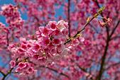 2014-01-30_平菁街櫻花 (除夕):主體不鮮明、背景很花俏的櫻花海
