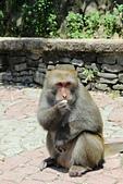 2012-08-11_伯朗大道、泰源幽谷、東河橋、都蘭(國小、糖廠)、杉原、伽路蘭、森林公園:瘋狂搶食的猴王(這隻超兇的,在拍牠的同時一直有被攻擊的嫌疑)