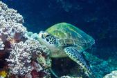 2015-05-16~17_小琉球之海龜看到膩:海龜龜~