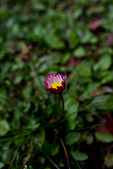 2014-03-10_阿里山拼命行:仆在地上拍很久的小花之三