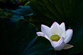 2013年07月_靜心湖荷花:IMG_9565.JPG