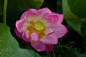 2014-07-06_台大安康農場:這朵花,歪歪的、皺皺的,但是還挺可愛的