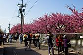 2014-01-30_平菁街櫻花 (除夕):雖然是除夕,但依舊是人滿為患的平菁街